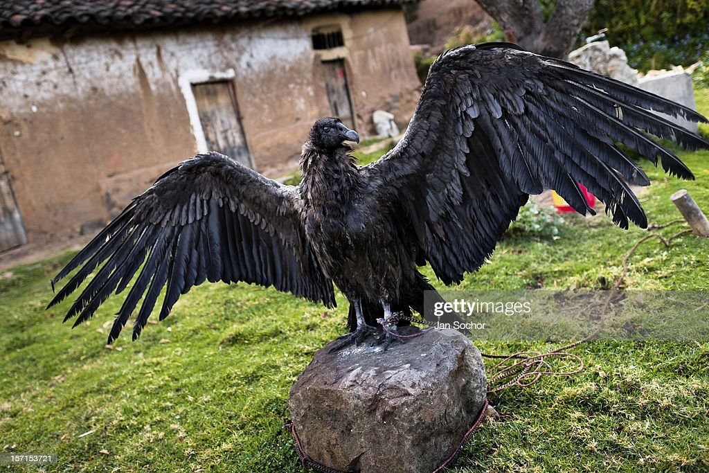 A captured Andean condor shows its wings before the Yawar Fiesta, a ritual fight between the condor and the bull, held in the mountains of Apurímac, on 28 July 2012 in Cotabambas, Peru. The Yawar Fiesta (Feast of Blood), an indigenous tradition which dates back to the time of the conquest, consists basically of an extraordinary bullfight in which three protagonists take part - a wild condor, a wild bull and brave young men of the neighboring communities. The captured condor, a sacred bird venerated by the Indians, is tied in the back of the bull which is carefully selected for its strength and pugnacity. A condor symbolizes the native inhabitants of the Andes, while a bull symbolically represents the Spanish invaders. Young boys, chasing the fighting animals, wish to show their courage in front of the community. However, the Indians usually do not allow the animals to fight for a long time because death or harm of the condor is interpreted as a sign of misfortune to the community.