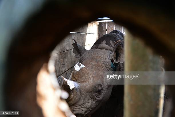 A captured black rhino peeps from a cage during a relocation exercise of four rhinos from Lake Nakuru National Park some 140 kilometers northwest of...