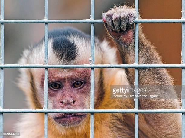 Capuchin monkey and bars