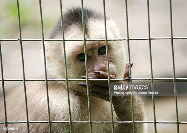 Capuchin monkey in a cage