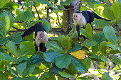 A pair of wild capuchin monkeys threatening in the Carara National Park in Costa Rica