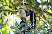 A wild capuchin monkey in a tree in the Carara National Park in Costa Rica