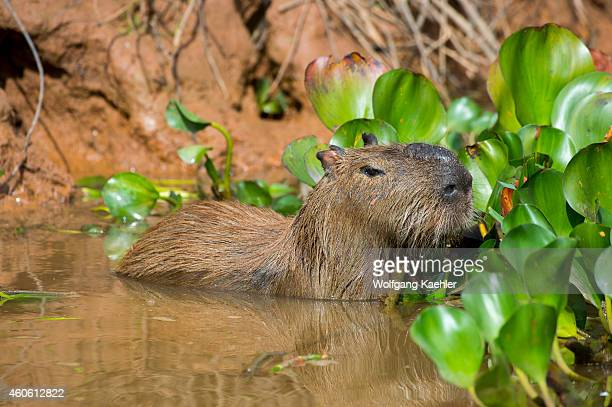Capybara along a river bank of a tributary of the Cuiaba River near Porto Jofre in the northern Pantanal Mato Grosso province in Brazil Capybaras are...