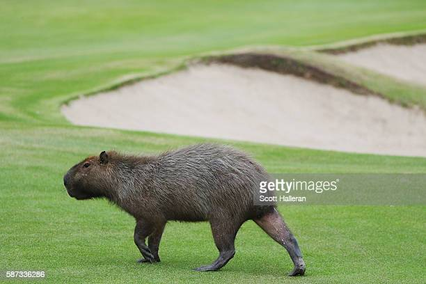 A capybara crosses a fairway during a practice round during Day 3 of the Rio 2016 Olympic Games at Olympic Golf Course on August 8 2016 in Rio de...