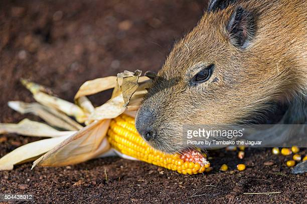 Capybara eating maize