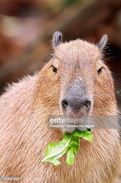 Capybara eating salad