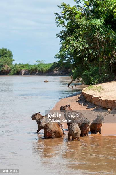 Capybara family on a beach at a tributary of the Cuiaba River near Porto Jofre in the northern Pantanal Mato Grosso province in Brazil Capybaras are...