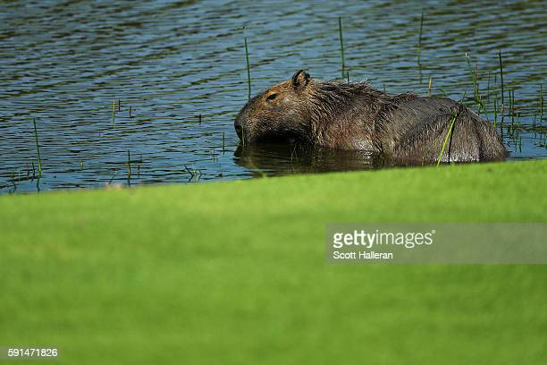 A capybara is seen during the First Round of Women's Golf on Day 12 of the Rio 2016 Olympic Games at Olympic Golf Course on August 17 2016 in Rio de...