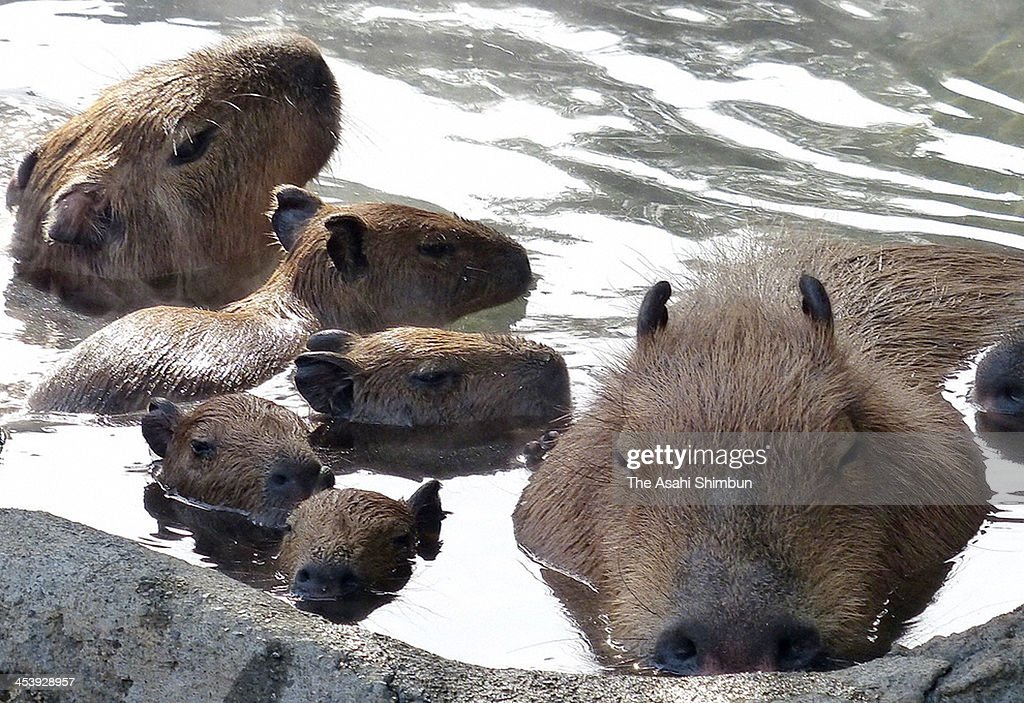 Capybara look relaxed as they bathe in the hot spring at Izu Shaboten Park on December 1, 2013 in Ito, Shizuoka, Japan.
