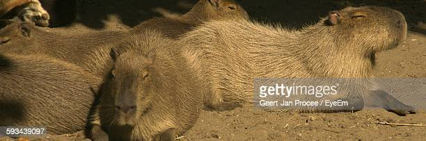 Capybara Relaxing On Field In Zoo