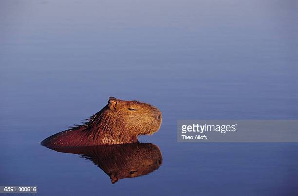 Capybara Resting in Water