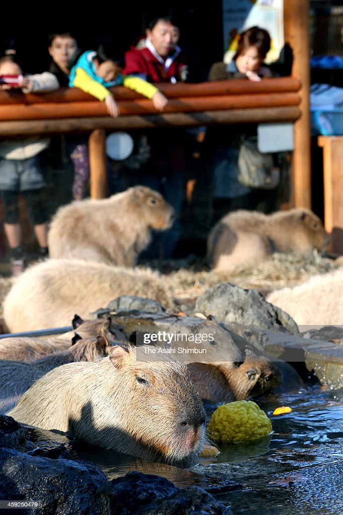 Capybara take yuzu (Japanese citrus) floating bath at Saitama Children's Zoo on December 22, 2013 in Higashimatsuyama, Saitama, Japan. It is said that taking yuzu bath on the winter solstice day makes people stronger against cold.