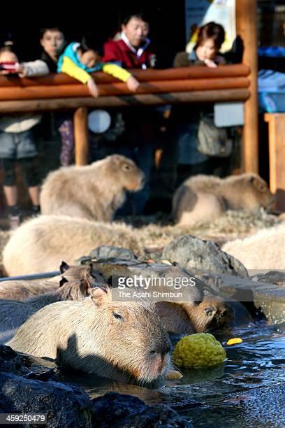 Capybara take yuzu floating bath at Saitama Children's Zoo on December 22 2013 in Higashimatsuyama Saitama Japan It is said that taking yuzu bath on...