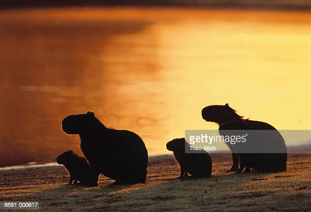Capybaras Family near River