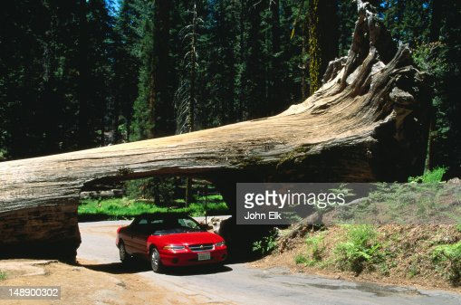 Car driving under the Tunnel Log in the Sequoia National Park - California