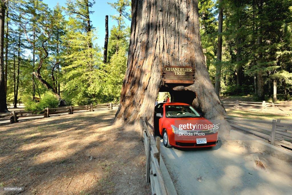 Car Through Chandelier Tree In Coastal Redwood Forest North ...