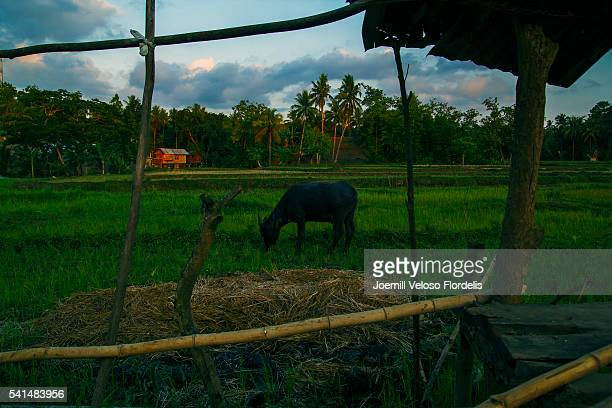 Carabao or Philippine Water Buffalo in Rice Field or Paddy