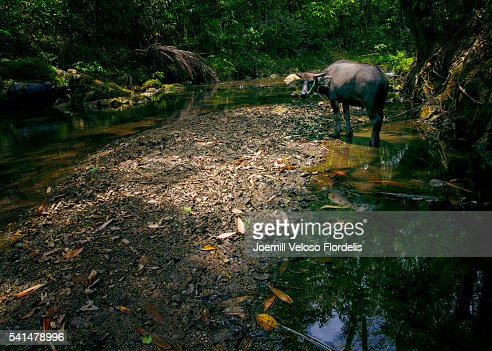 Carabao or Philippine Water Buffalo