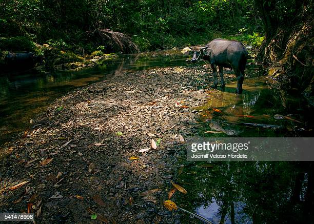 Carabao or Philippine Water Buffalo
