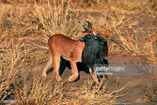 Caracal (Caracal caracal) carrying caught guineafowl in mouth, Africa