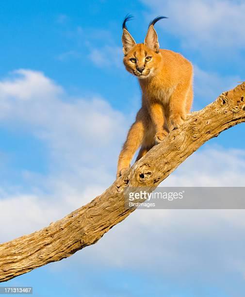 Caracal cat-Afrique du Sud