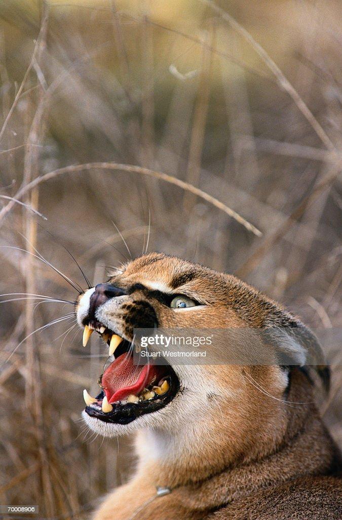 Caracal (Felis caracal) growling, California, USA, head-shot : Stock Photo
