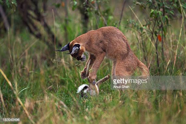 Caracal kitten playing with a dead African hare