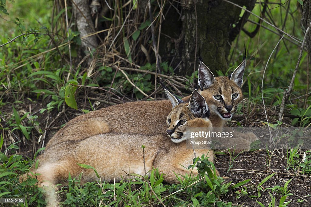 Caracal kittens aged about 6 months resting : Stock Photo