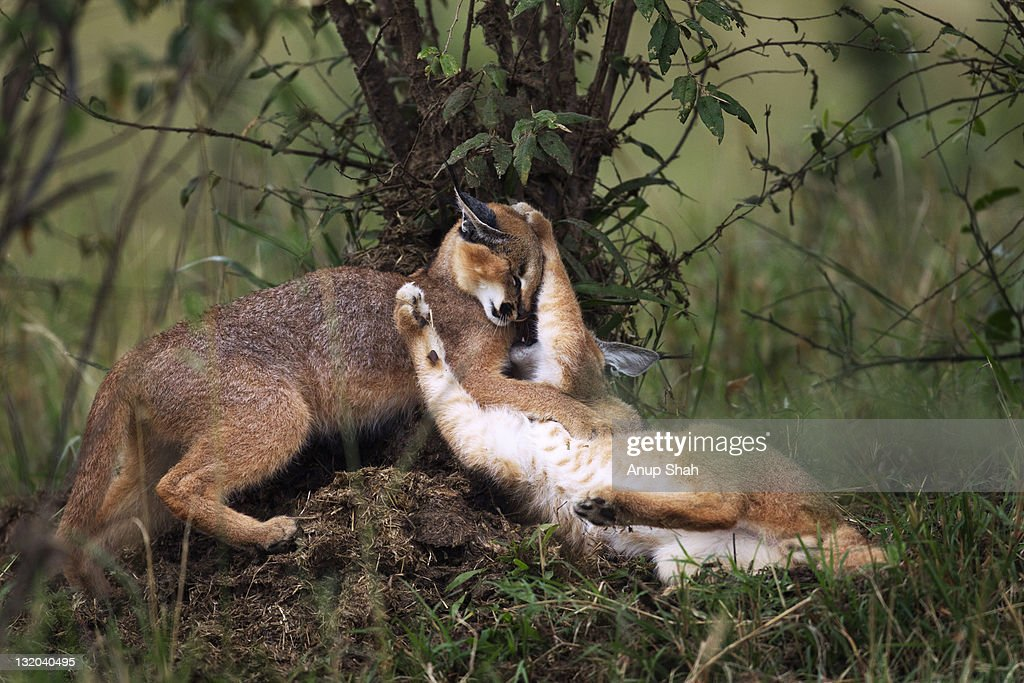 Caracal kittens playing together : Stock Photo