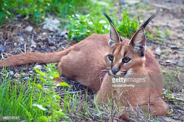 L'Afrique du Sud, du Limpopo Mopani municipalité de District, Caracal Wild Cat