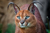 Detail of caracal head with attentive look