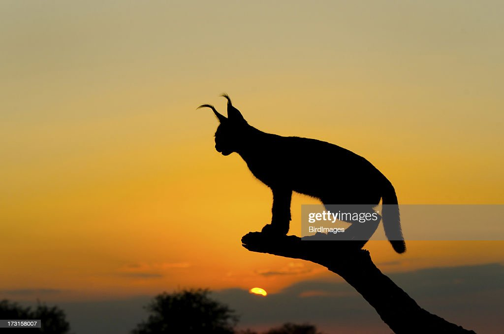 Caracal Sunset Silhouette, South Africa : Stock Photo