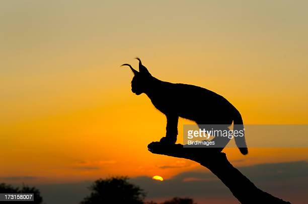 Caracal Sunset Silhouette, South Africa