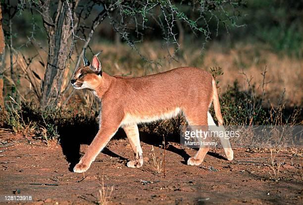 Caracal (Caracal caracal) walking through habitat, Africa