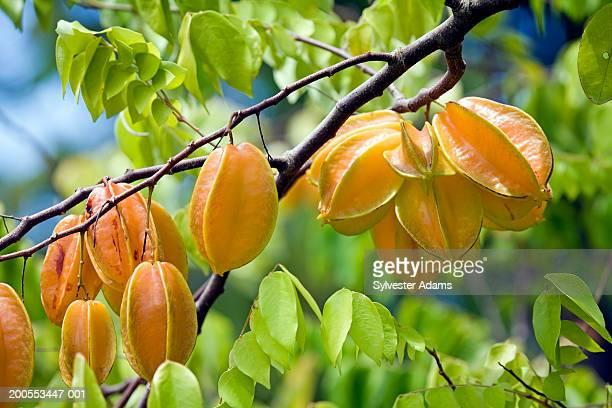 Carambola fruits on tree, close-up