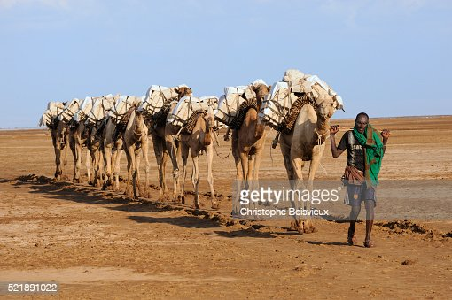 Caravan Of Camels Carrying Salt Blocks To Mekele Stock Photo