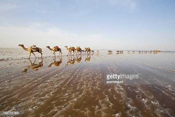 Caravan of camels in a line across salt plains