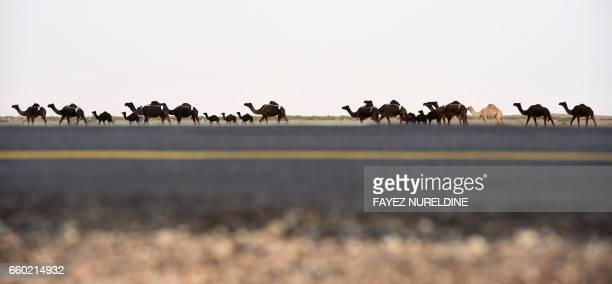 TOPSHOT A caravan of camels walks in the desert during the annual King Abdulazziz Camel Festival in Rumah some 150 kilometres east of Riyadh on March...