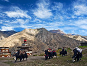Caravan of yaks in Saldang village, Nepal. Saldang lies in Nankhang Valley, the most populous of the sparsely populated valleys making up the culturally Tibetan region of Dolpo.