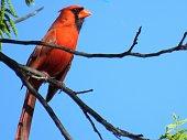 Cardinal bird, male; State bird of 7 US States