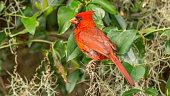 red cardinal eating