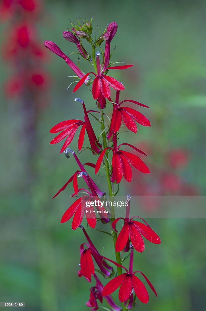 Cardinal Flower-pollinated chiefly by hummingbirds : Stock Photo
