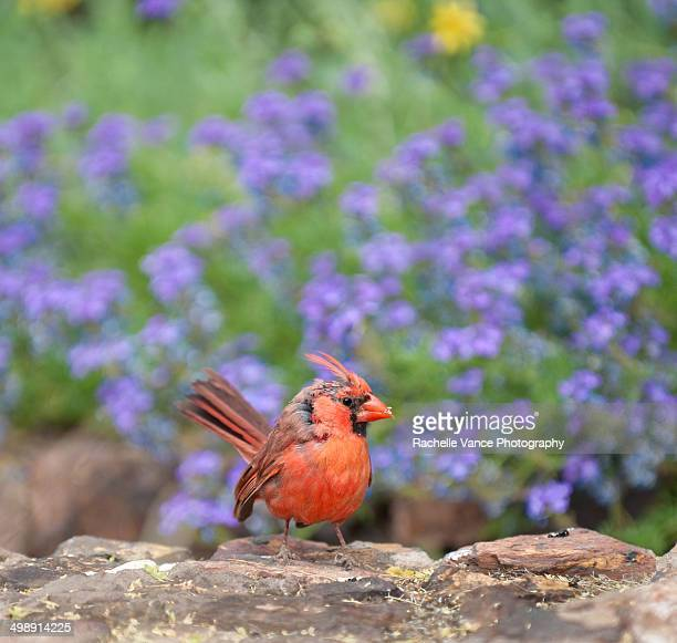 Cardinal in front of flowers