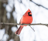 A beautiful male Northern Cardinal (Cardinalis cardinalis) on tree branch on snowy day.