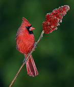 A male cardinal is sitting on the frosty branch of a sumac tree.