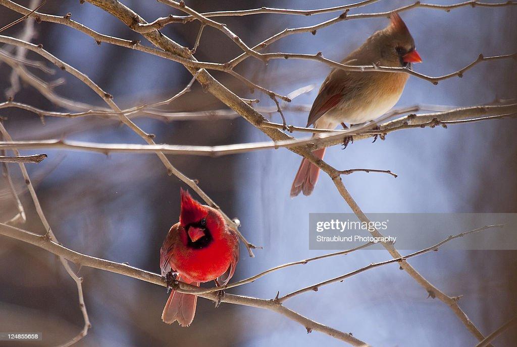 Cardinal on tree
