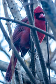 This cardinal was peeking through the branches at me