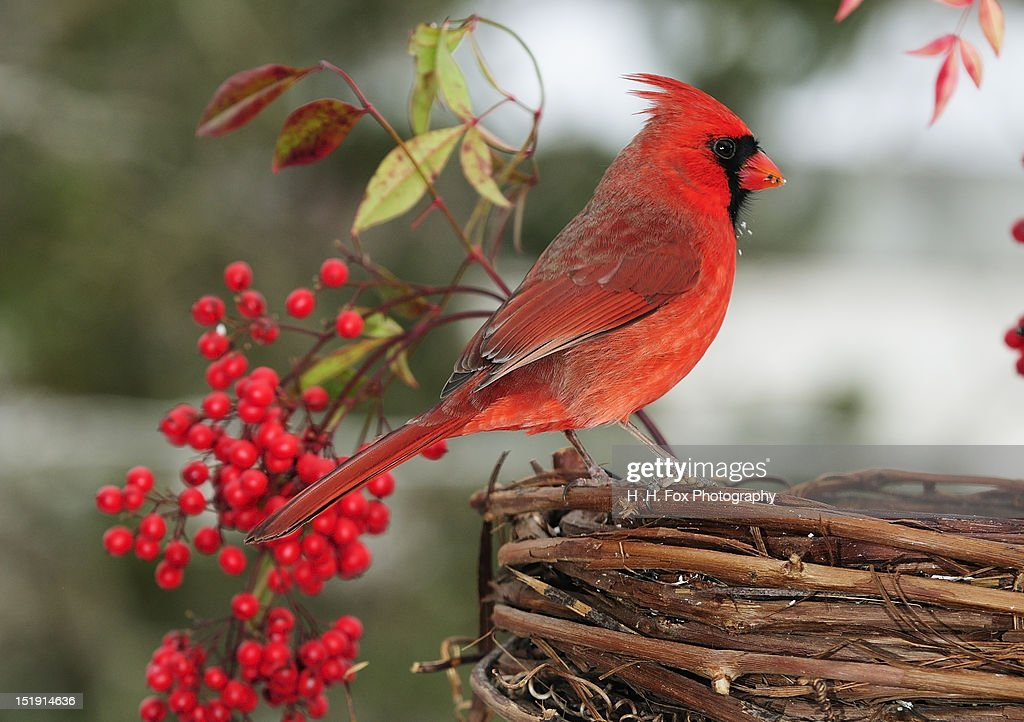 Cardinal perched on grapevine basket