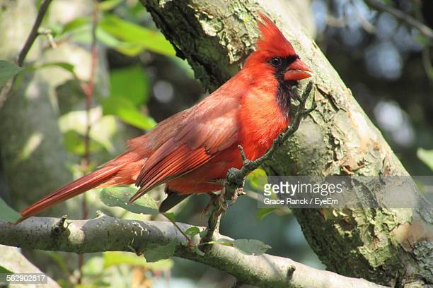 Cardinal Perching On Tree In Forest