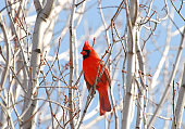 Northern Cardinal (Cardinalidae family) on leafless birch tree on a sunny spring day.